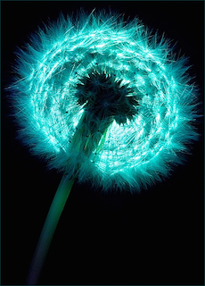 blue_dandelion