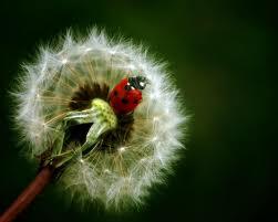 dandelionladybug
