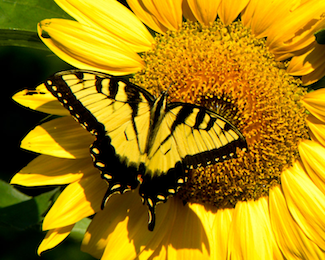 swallowtailsunflower