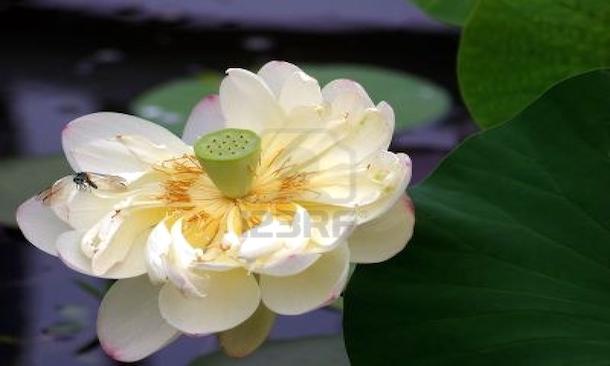 lotus20130324