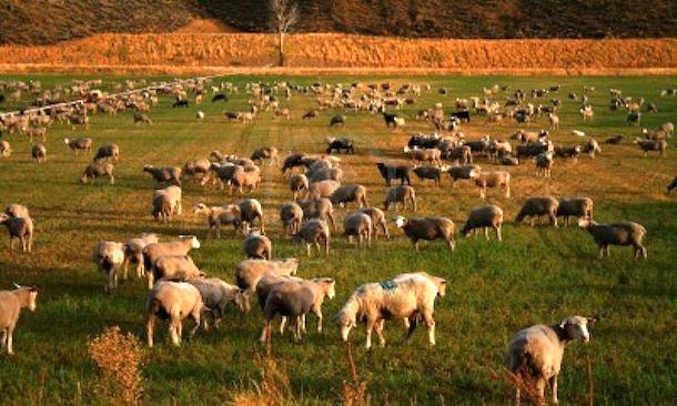 sheepherd20130312