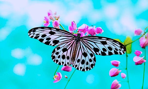 daobutterfly