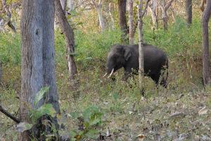 bandipur elephant